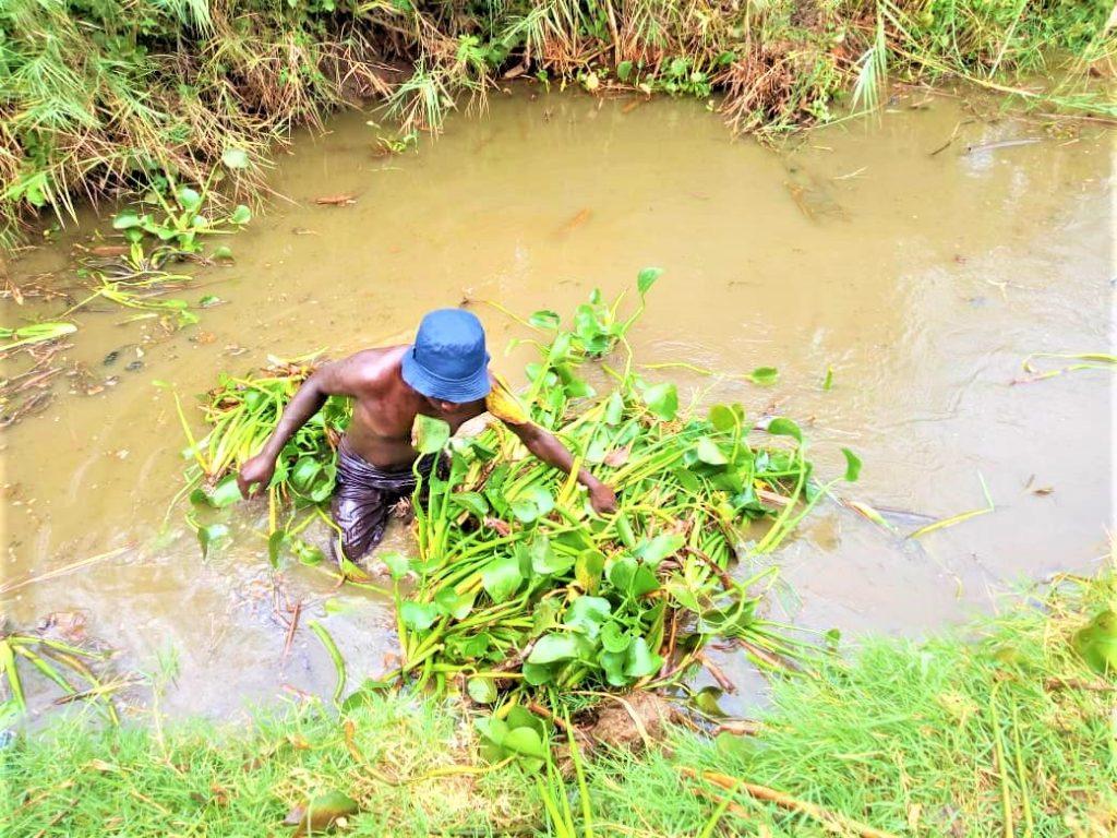 Photo ullistrant l'arrachage de la jacinthe d'eau au litoral du lac Tanganyika