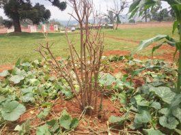 Arbre planté au milieu du Burundi