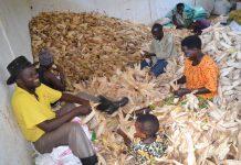 La production des céréales est satisfaisante(maïs)